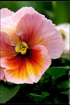 Pansy - wow... what colors! Beautiful. Wish I could find these to plant!!!