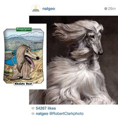 Our card of the day is totally #twinning with @natgeo photo of the day by @robertclarkphoto #afghanhound #cardoftheday #natgeo #tradeskool #tradingcards #oldschool #dogbreed #educational #game #besthair