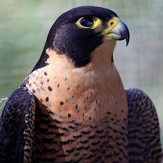~~ Peregrine Falcon by fatdade~~