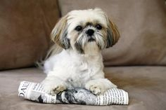 All About the Shih Tzu Dog Breed