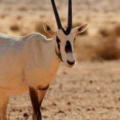 A blog about the beautiful success story of the Arabian Oryx. Once again you have the option to visit them in Wadi Rum desert.
