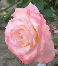 """~""""Secret"""" rose"""