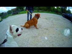 Zeus - 7 month old Dogue De Bordeaux - 14 day dog boot camp with Adolescent Dogs UK - YouTube