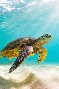 Save The Sea Turtles, Baby Sea Turtles, Cute Turtles, Turtle Baby, Turtle Time, Sea Turtle Art, Sea Turtle Pictures, Turtle Habitat, Most Beautiful Animals