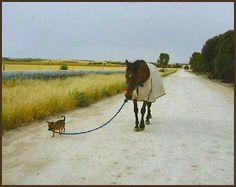 My dog Cricket, a Chihuahua loved horses. He was a trained service dog, so that gave him some mad dog skills. This picture isn't him, but reminds me of him. Funny Horses, Funny Animals, Cute Animals, Barrel Racing Quotes, Horses And Dogs, Horse Quotes, Chihuahua Love, All The Pretty Horses, Horse Training
