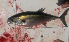 Fishing Report: Summer Is Definitely Here! Blackfin Tuna, Highland Beach, Tuna Fishing, Yellowfin Tuna, Shark Bait, Fishing Report