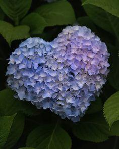 Hydrangea of blue heart? All Flowers, Fresh Flowers, Beautiful Flowers, Hydrangea Garden, Blue Hydrangea, Hydrangeas, Heart In Nature, Deco Nature, Flower Power