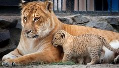 leopon pictures - Google Search