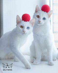 神々しさすらあるオッドアイの白猫姉妹