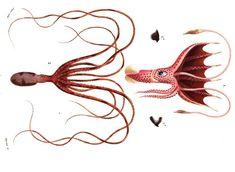 En grec les noms képhalé, tête et podos, pied, ont donné le nom de #céphalopode, une classe d'#animaux invertébrés. il existe deux groupes de Céphalopodes vivants, les Coléoïdes et les #Nautiloïdes. Ces derniers représentent le groupe le plus important, avec environ 700 espèces, dont les #calmars, les #seiches, les #pieuvres et les vampires des abysses #numelyo #bestiaire #océan