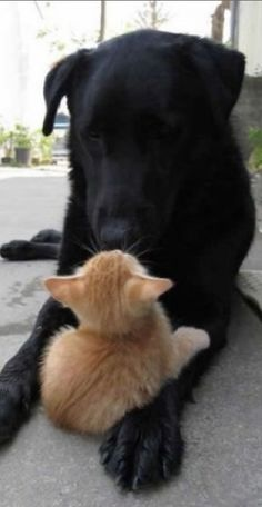 This could be my Hunter, a black lab, and my Casey, my orange tabby kitty...