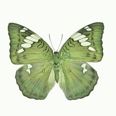 Green butterfly (Grand Duchess, Euthalia patala) 21 Unbelievable Photos Of Symmetry In Nature Most Beautiful Butterfly, Beautiful Bugs, Butterfly Photos, Butterfly Kisses, Green Butterfly, Butterfly Art, Moth Caterpillar, Chenille, Shades Of Green