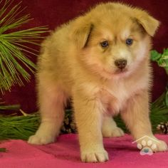 ADOPTED - Hello, my name is Rocco. I am a stunning male Pomsky. I am spunky and I live for your attention. I love people of all ages. I love to play and I am sure not to disappoint you. Pomsky Breeders, Pomsky Puppies For Sale, Puppy Breeds, Love People, Friends Forever, Corgi, Adoption, Play, Live