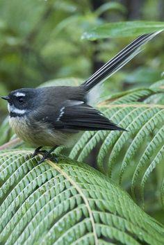Learn interesting facts about the New Zealand fantail flycatcher bird. New Zealand Tours, New Zealand Art, Beautiful Birds, Animals Beautiful, Cute Animals, Wild Animals, Birds In The Sky, All Birds, Exotic Birds