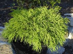 Sungold thread branch cypress - btwn house and driveway 1G $6.70 2G $13.70
