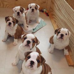 The major breeds of bulldogs are English bulldog, American bulldog, and French bulldog. The bulldog has a broad shoulder which matches with the head. Cute Baby Animals, Animals And Pets, Funny Animals, Cute Puppies, Cute Dogs, Dogs And Puppies, Doggies, Terrier Puppies, Corgi Puppies