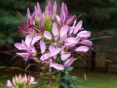 Cleome, fittingly known as  spider flower , produces bright clusters of long flowers on sturdy, tall stems. Spider flower self-seeds, so don't be surprised if you see if pop up in your garden year after year. Photo courtesy of HGTVGardens community member  Gail Graham