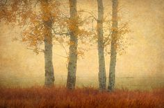 Aspen Trees on a Foggy Morning by Edmund Lowe
