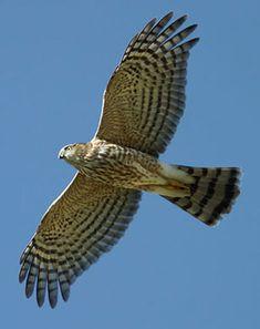 Sharp Shinned Hawk in flight
