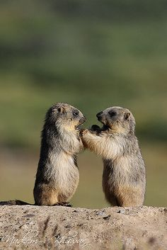 Young long-tailed marmots at play, Deosai National Park, Pakistan . I sooo miss you xx Cute Creatures, Beautiful Creatures, Animals Beautiful, Hamsters, Rodents, Wild Life, Reptiles, Mammals, Le Castor
