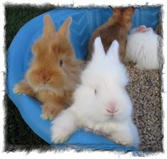 Satin Angora Rabbit Babies Antelope Island Angoras  www.Angoras.us