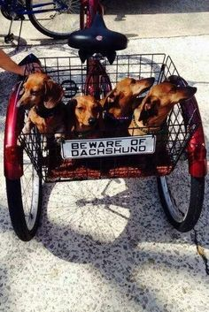 Darling daughters... when I get older I want a 3 wheeled bike full of Doxies like this.... so I can peddle them around in the sunshine :)