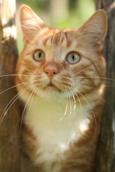 """A ginger cat will forever win my heart...    """"People that don't like cats haven't met the right one yet."""" --Deborah A Edwards, DVM"""