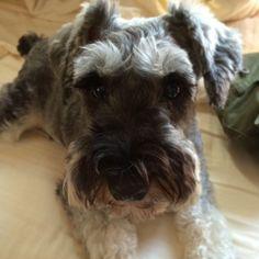 """@tomoko457525's photo: """"#犬#dog#シュナウザー #ミニチュアシュナウザー #家族#ファミリー#family#happy#mayglobeveil #mayglobe #ノエル#noel#LOVE#癒し  ベットの上でご機嫌です♡  癒し"""""""
