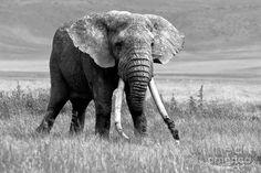 http://images.fineartamerica.com/images-medium-large/african-elephant-francesco-panuello.jpg