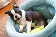 Winnie the Boston Terrier Puppy | Kevin & Amanda