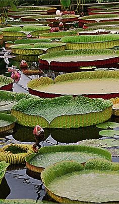 Growing Water Lilies Pond Plants - Daylilies in Australia