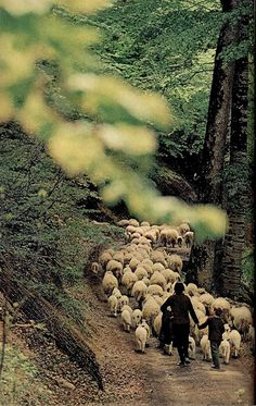 "National Geographic Montenegro May 1970""To the summer pastures: A Montenegrin sheperdess and her son  guide their flock to mountain meadows - a journey made each year as  spring passes into summer.  Autumn's first cool breezes will bring  them to their valley again, completing another seasonal cycle in this  remote fastness."""