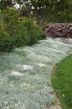 Hopeahärkin lehdistö on upea! Se kukkii valkoisin kukin kesäkuun tienoilla. Ryöppyää yli kivien ja muurien. Kestää todella ohutmultaista karua paahteista kasvupaikkaa