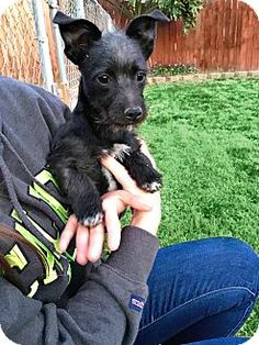 Redondo Beach, CA - Cairn Terrier/Dachshund Mix. Meet Ash is just a puppy!, a puppy for adoption. http://www.adoptapet.com/pet/14806279-redondo-beach-california-cairn-terrier-mix