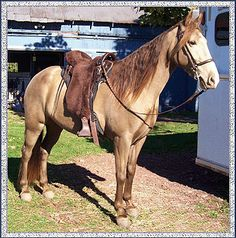 CHAMPAGNE WALKERS - quality Tennessee Walking Horses in Colorado - Grace Dancer