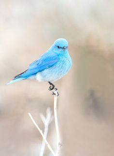 bluebird? Birds In The Sky, All Birds, Cute Birds, Pretty Birds, Little Birds, Beautiful Birds, Animals Beautiful, Exotic Birds, Colorful Birds