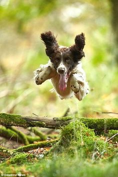 Leaps and bounds: Bailey, a springer spaniel, is pictured at work as he jumps over fallen ...