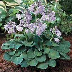The 2008 Hosta of the Year is a Colorfast Mini with Substantial Leaf Texture!