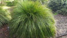 A fine blade and compact habit have made this the most widely used Lomandra selection in the world. This plant has the look and feel of an ornamental grass, with bright, pine-green foliage Lomandra, Far More, Hillside Landscaping, Flagstone Patio, Plant Nursery, Ornamental Grasses, Drought Tolerant, Native Plants, Evergreen