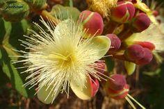 Flor do pequizeiro atrativa para beija-flores
