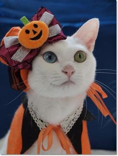 Halloween cat all dressed up in costume