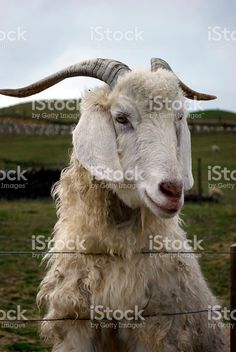 A goat looks over a fence to the camera on a grey overcast day. Image Now, Goats, Royalty Free Stock Photos, Portraits, Animals, Animales, Animaux, Head Shots, Animal