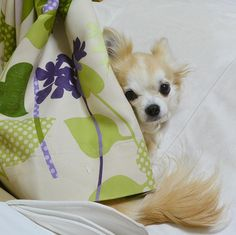ひとりかくれんぼ  2016年2月のみかん  #dekachiwa #chihuahua #dog #チワワ #ふわもこ部 #chihuahuaofinstagram