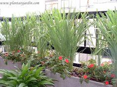 Paspalum haumanii con Impatiens cultivadas en macetas en un pequeño balcón