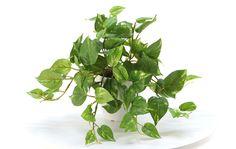 造花ドットコムの光触媒人工観葉植物 4121「Simple Pot ポトス 24cm(白プラ)」(フェイクグリーン)