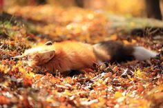 Sleepy Fox in the Autumn Sun (photo by Wataken17) [1024683]