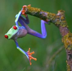 """""""Talented frog""""~The red-eyed tree frog has three eyelids, and sticky pads on its toes. Phyllomedusid tree frogs are arboreal animals, meaning they spend a majority of their lives in trees; they are great jumpers."""