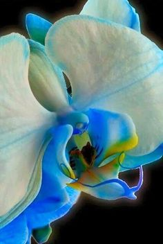 All blue orchids are dyed. There are no orchids that grow naturally in blue. Unusual Flowers, Amazing Flowers, Beautiful Flowers, Strange Flowers, Beautiful Gorgeous, Absolutely Stunning, Blue Orchids, Orchid Flowers, Yellow Orchid