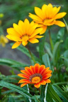 Záporvirág (Gazania rigens) gondozása, szaporítása (Egynyári Gerbera) Gerbera, Plants, Gardening, Outdoor, Garten, Lawn And Garden, Planters, The Great Outdoors, Plant