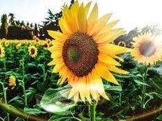 girasoles en el cementerio - Buscar con Google Plantar, Compost, Flowers, Titanic, Google, World, Edible Flowers, Wild Flowers, Pictures Of Flowers
